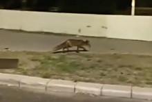 <p>Splićane iznenadila životinja</p>