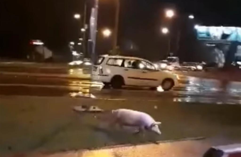 <p>Svinja u Banjoj Luci</p>