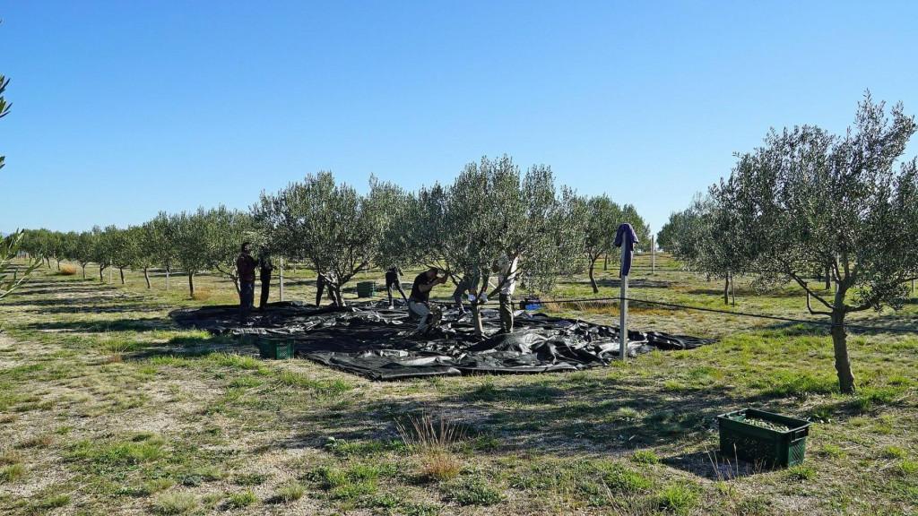 <p>Berba maslina u Hercegovini: Urod za 30 posto manji, ulje poskupjelo</p>